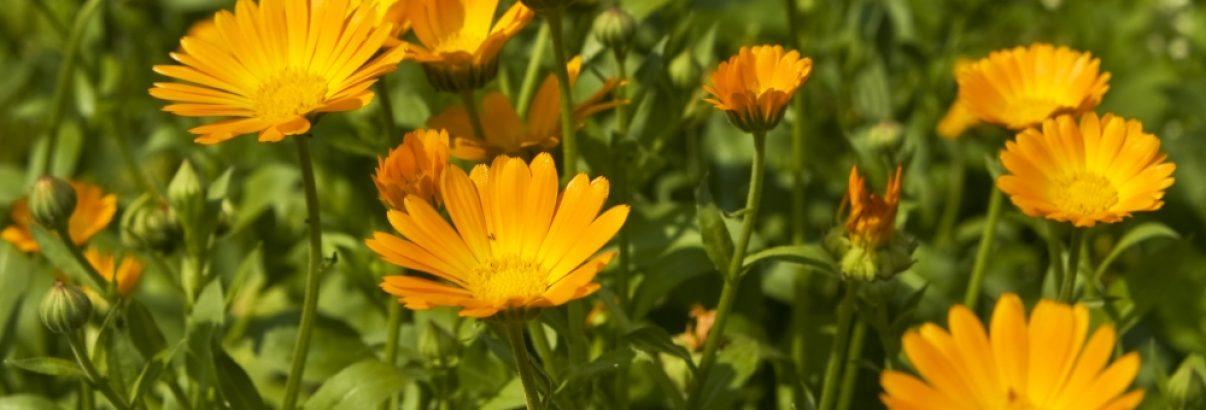 Flori de gălbenele în grădină