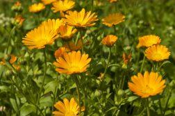 Flori de galbenele