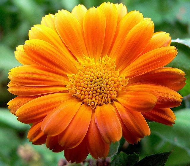 Flori  pentru case si gradini  - Pagina 5 Gerbera