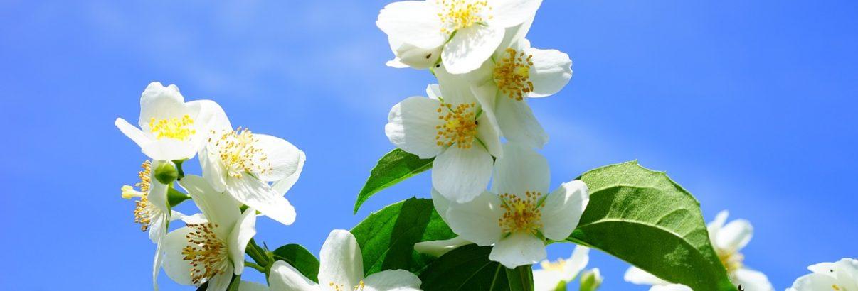 Iasomia, aroma zilelor de iunie