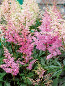 flori delicate astilbe