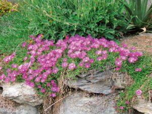 amenajare cu aer alpin cu floare-de-cristal si pietre