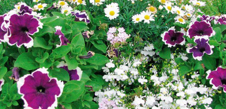 amestecuri florale petunii verbine, margarete, lobelii