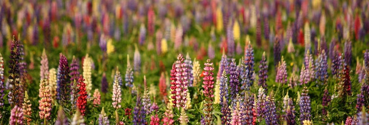 Lupinul, planta cu flori frumose si boabe bune de mancat