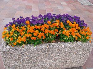 ghivece cu flori panselute culori diferite