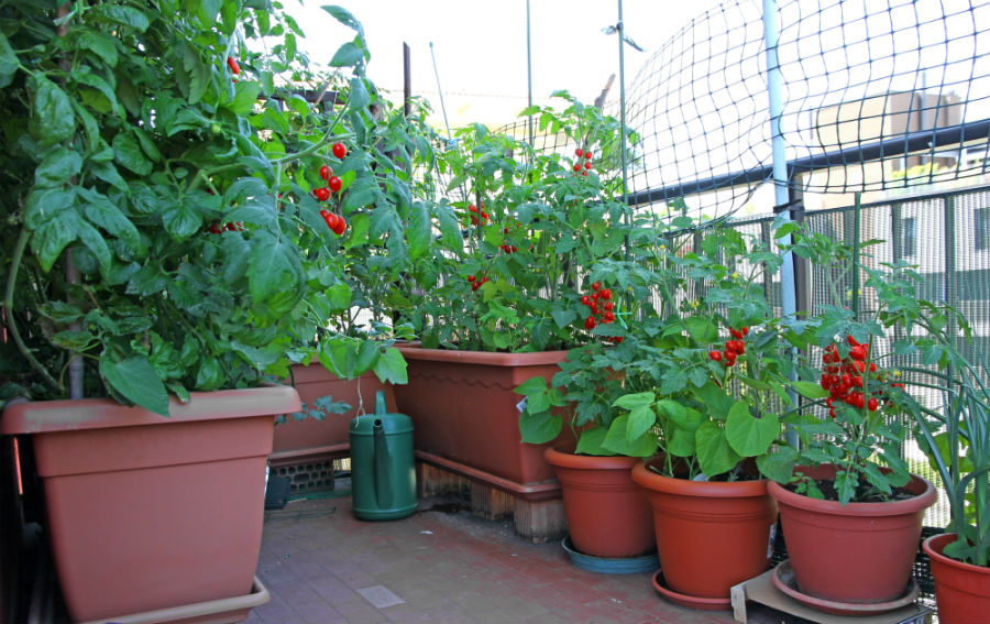 deliciile de pe balcon legume i fructe casa i gr dina. Black Bedroom Furniture Sets. Home Design Ideas