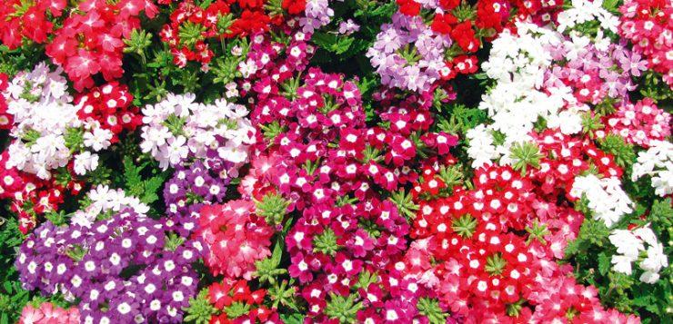 verbine rosii, roz, grena, mov