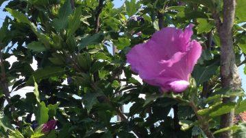 Zamosita, flori mov