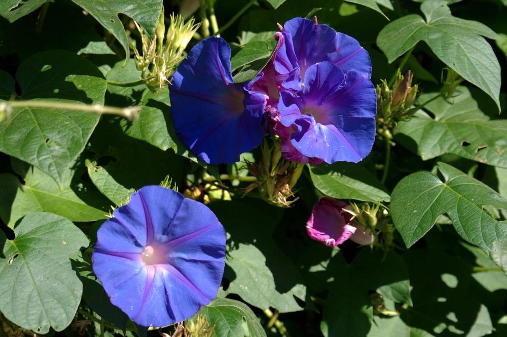 Zorele urc toare florile din curtea bunicii - Plantas exterior mucho sol ...