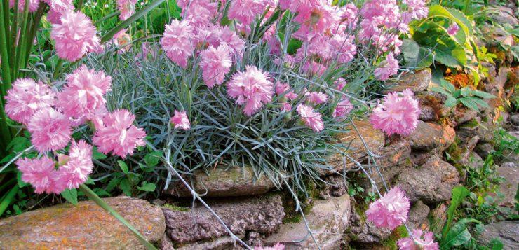 flori profilate pe pietre garofite