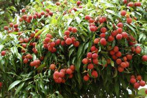 arbore Litchi