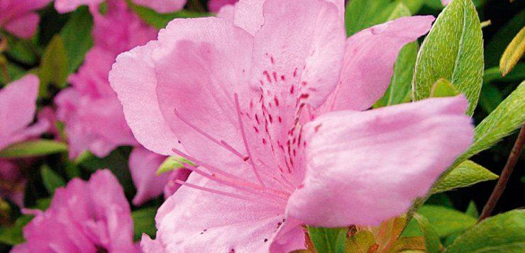 flori roz rododendron