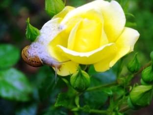 soiuri de trandafiri (2)