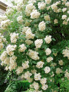 trandafiri cu flori mici trandafir Thalia
