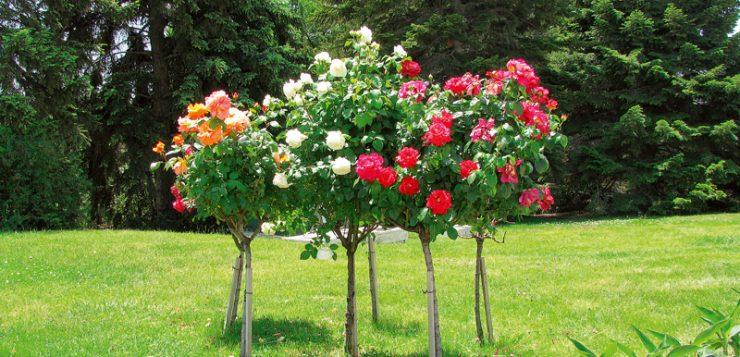 flori care cresc pe trunchi trandafiri