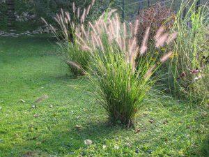ierburi decorative Pennisetum