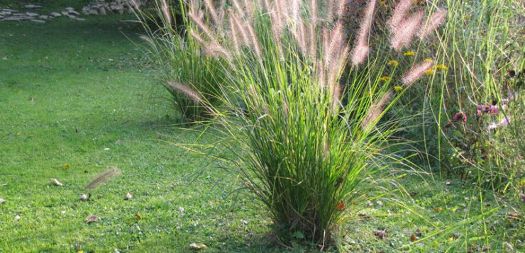 ierburi decorative Pennisetum