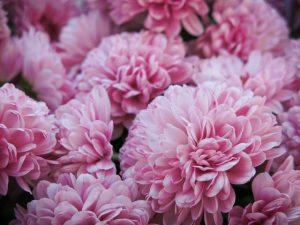 flori de toamna, Octombrie în grădina cu flori, crizanteme
