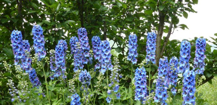 flori cu siluete zvelte nemtisor