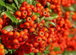 Fructe decorative pentru garduri vii