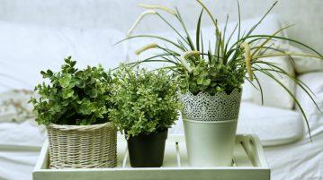 Bolile plantelor de apartament