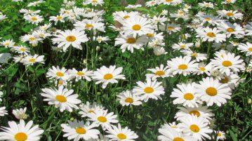 flori frumoase margarete