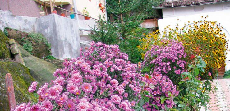 flori frumoase tufe de aster