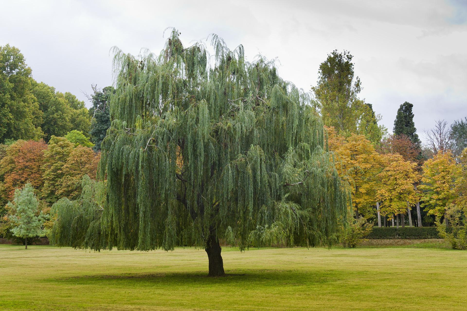 Paulownia copacul minue for Arboles jardin hoja perenne