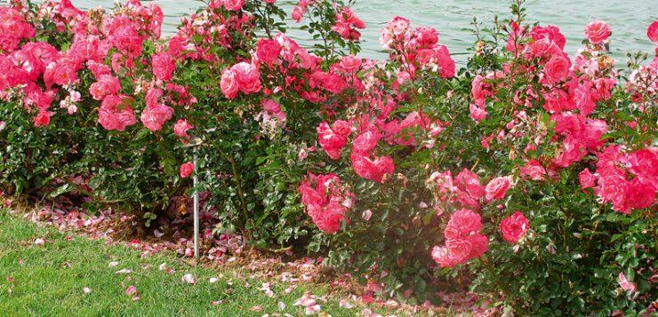 trandafiri roz pe malul apei