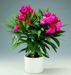 Plante parfumate