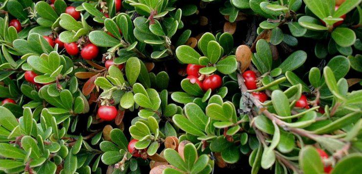 plante pentru covoare verzi iarna