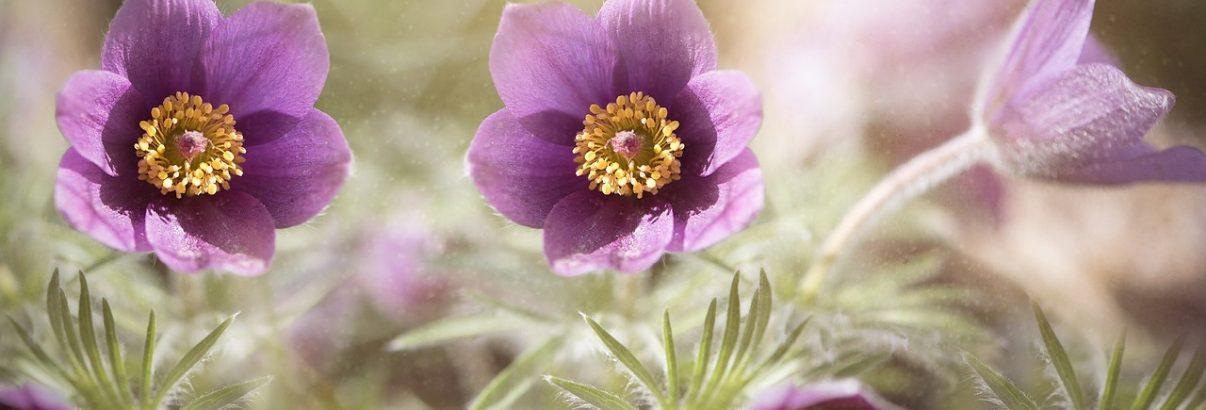Floarea vantului, o floare ca o bijuterie
