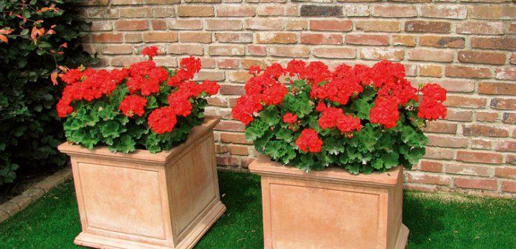 zid din caramida si ghivece cu muscate rosii