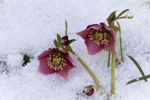 Plante vedetă la final de iarnă – Helleborus