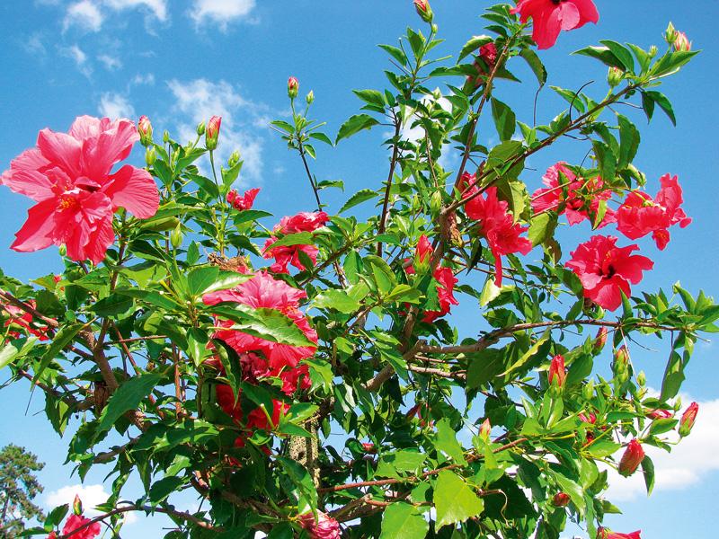trandafir chinezesc, hibiscus