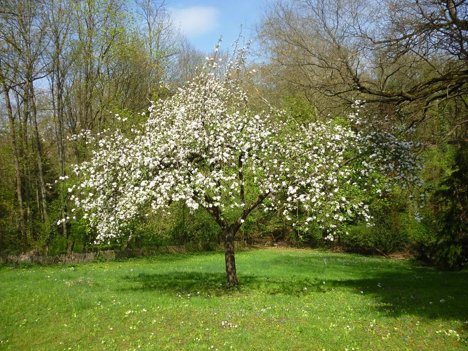 zarz rul primul pom cu flori al prim verii casa i gr dina. Black Bedroom Furniture Sets. Home Design Ideas