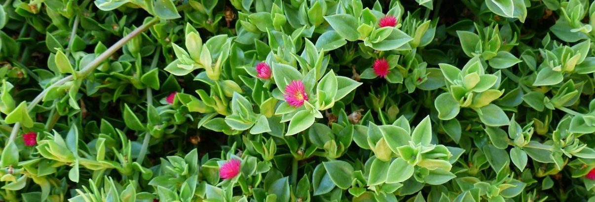 Aptenia, o planta cuceritoare