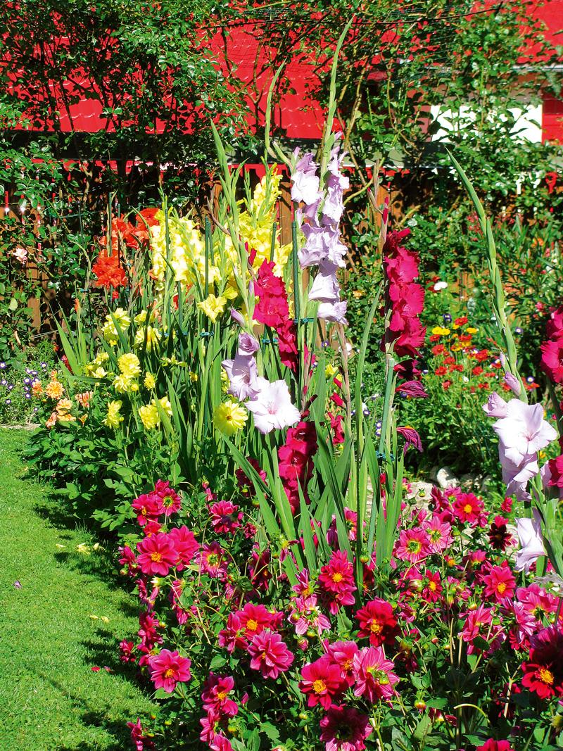 dalii pitice si gladiole in gradina