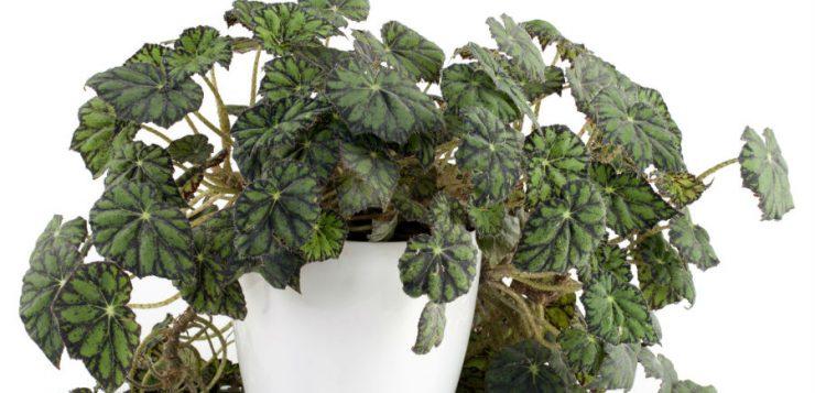 De ce nu înflorește begonia?