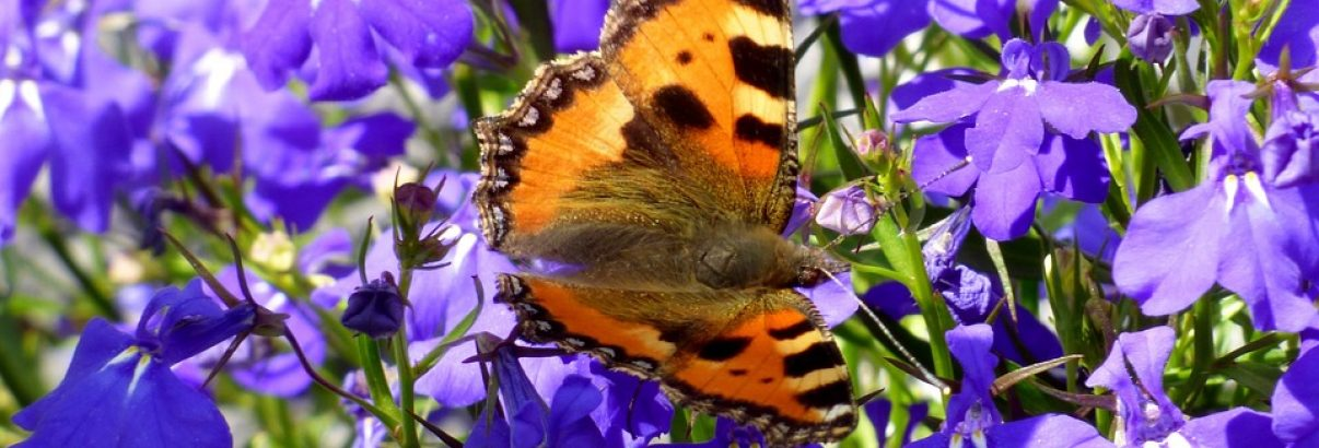 Lobelia, cea mai frumoasa floare albastra