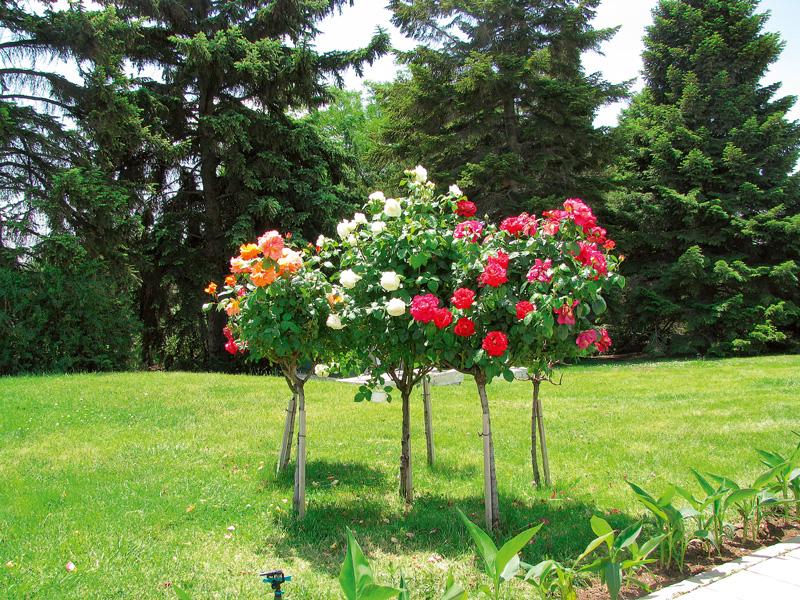 trandafirii trandafiri pe trunchi