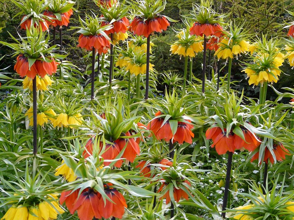 Fritillaria (2)