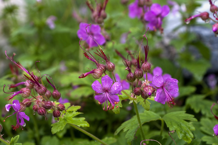 geranium macrorrhizum flori umbra