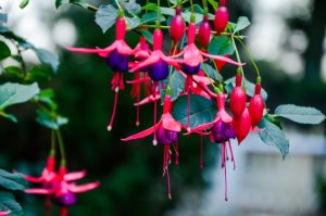 fuchsia flori umbra