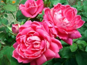 Îngrijirea trandafirilor pe timpul verii