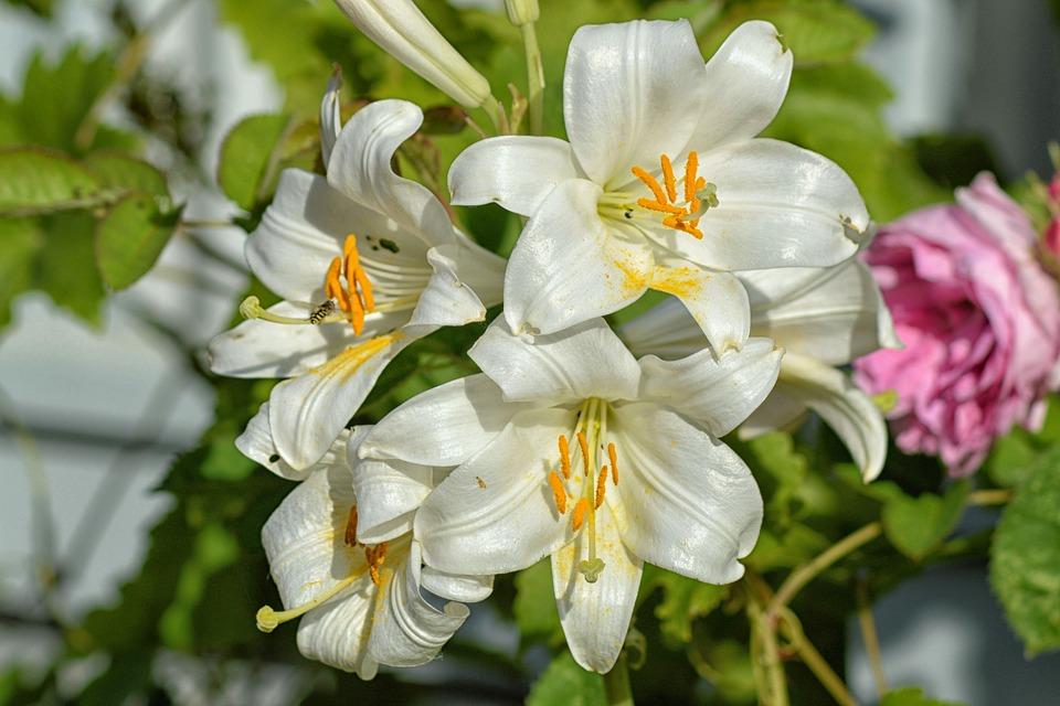 lilies-1479094_960_720