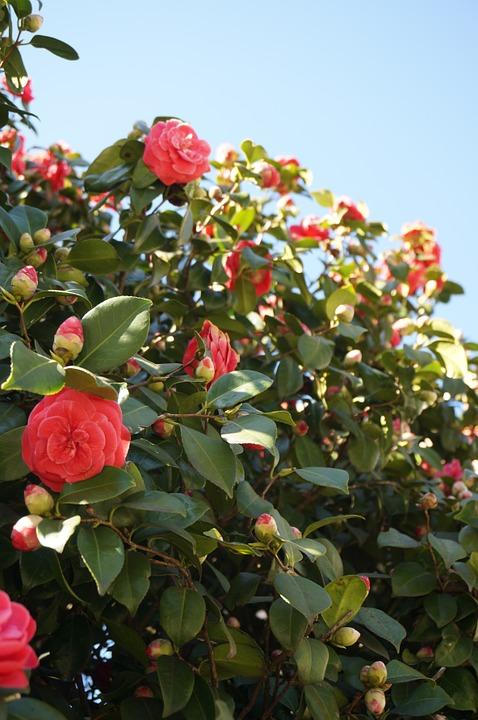 Camellia Japonica (1)