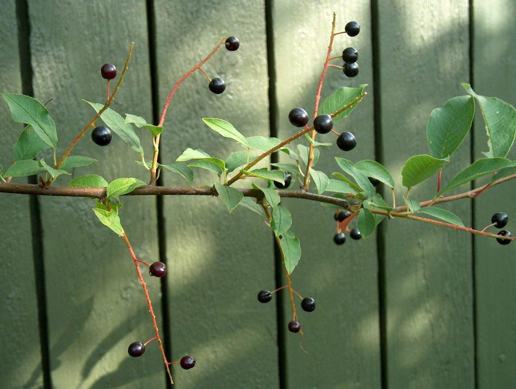 Prunus_padus_Tuomi_marjoja_VII_04_2989_C