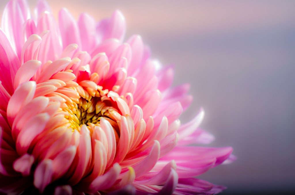 chrysanthemum-202483_1280