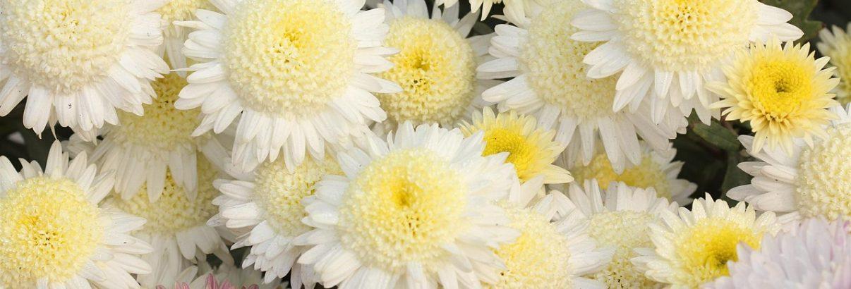 Secretele crizantemelor. Află ce nu știai despre acestea